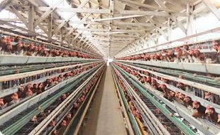 高床式開放鶏舎の養鶏場